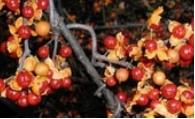 Bittersweet fall berries