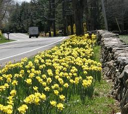 Daffodils by rock wall